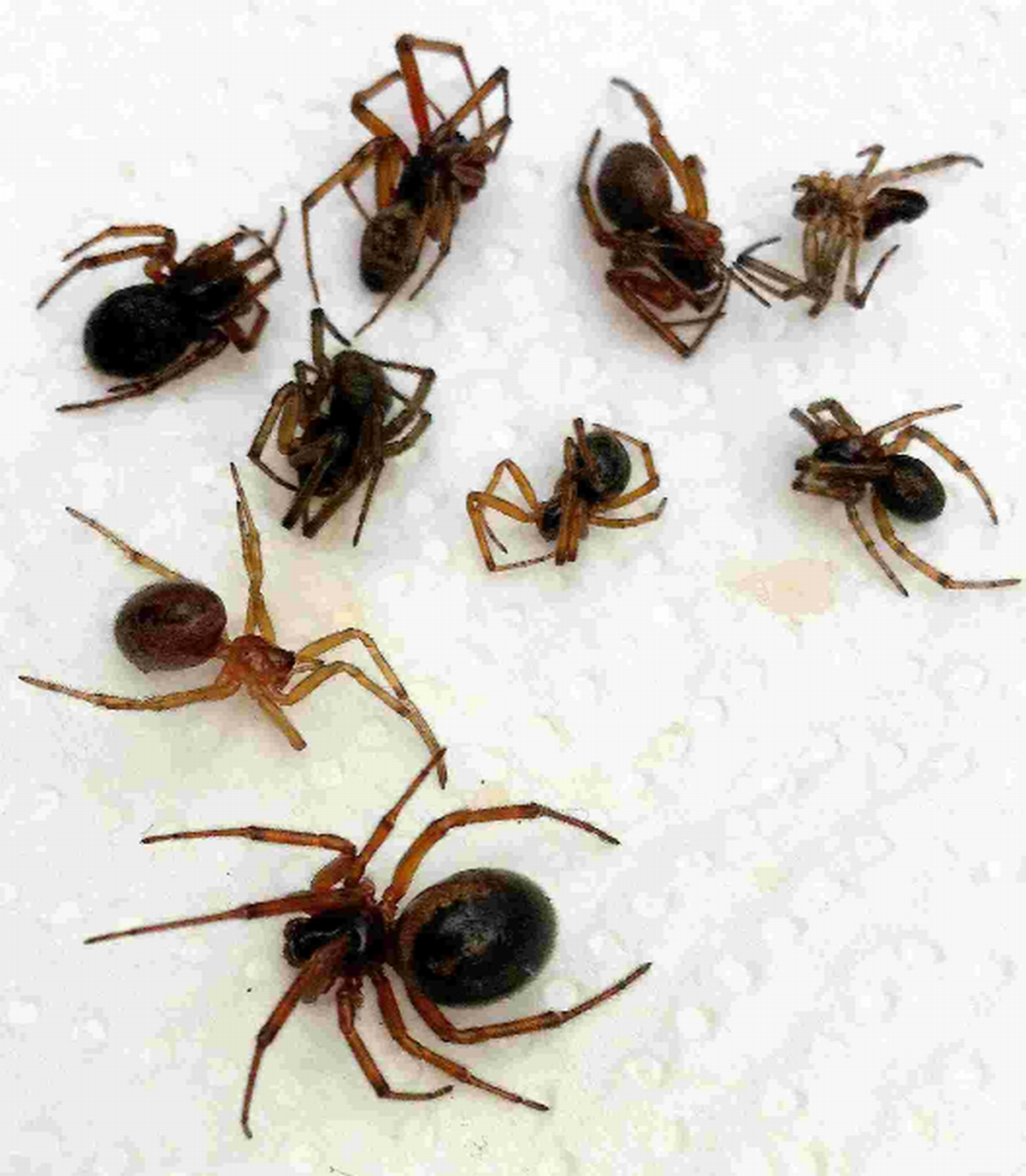 False widow spiders