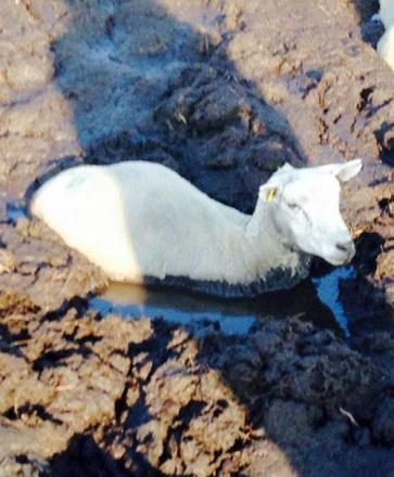 Sheep stuck in mud between Rivington Pike and Winter Hill