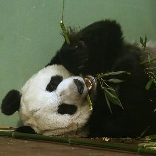 Experts at Edinburgh Zoo said Tian
